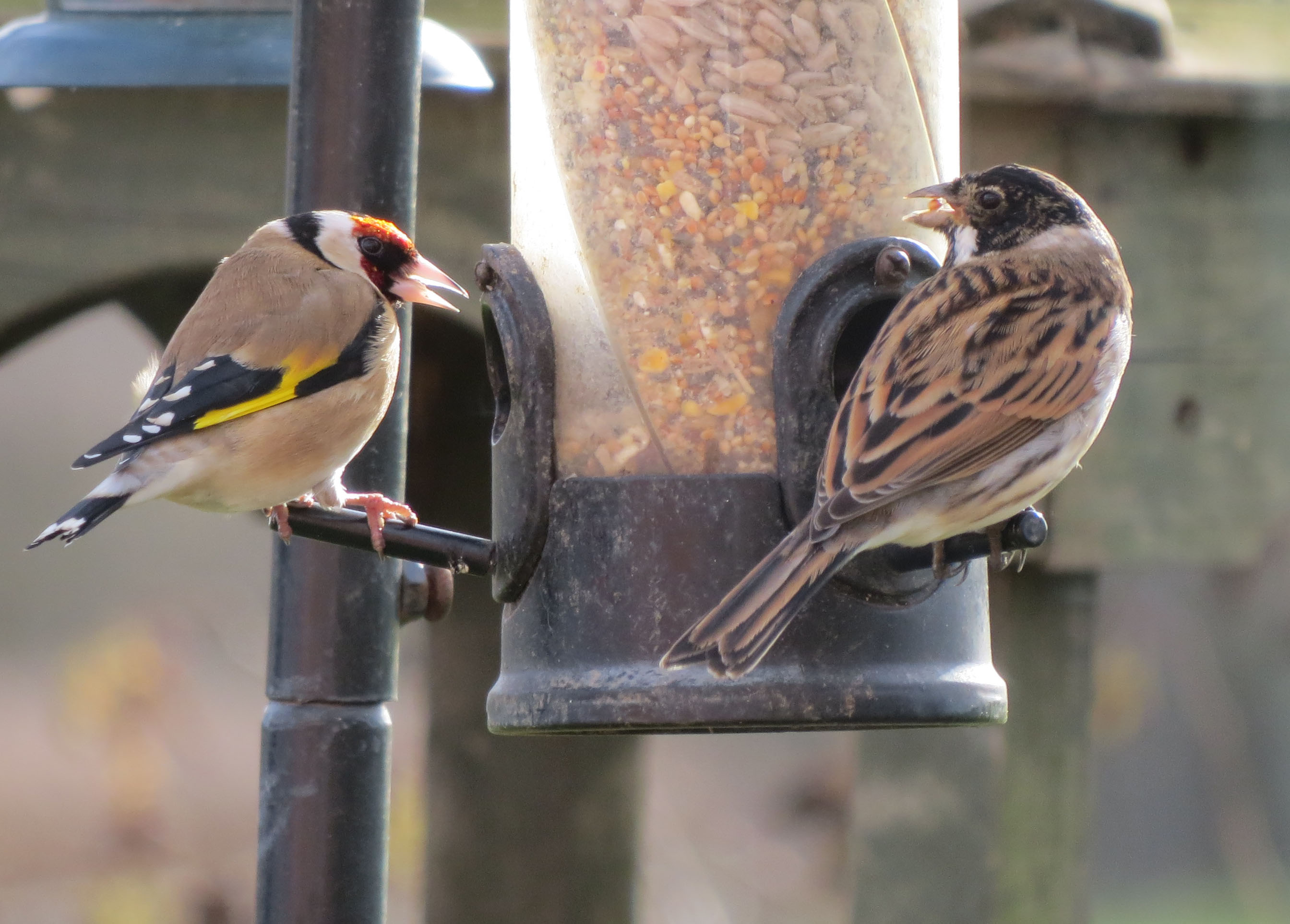 goldfinch and reed bunting eating wild bird food from a bird feeder