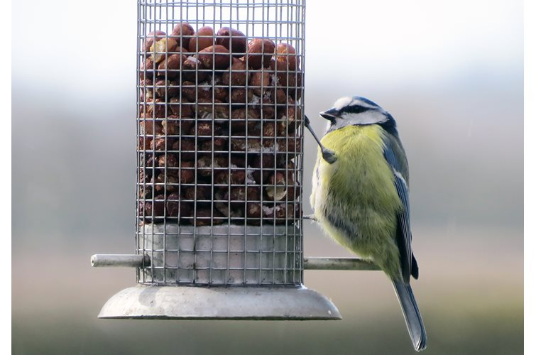 Feeding Peanuts For Wild Birds