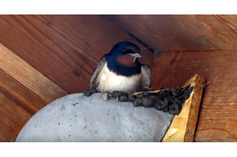 Swallow Facts - What you need to know