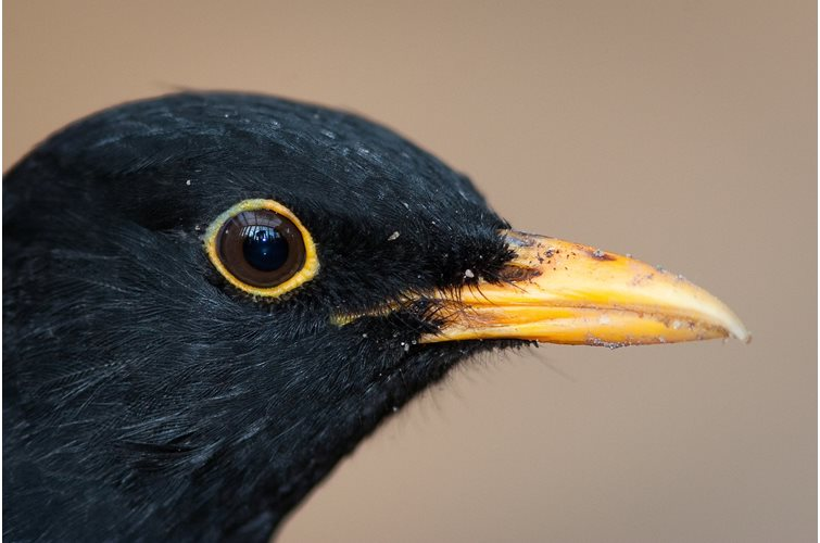 What do Blackbirds eat?