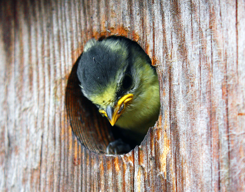 a young blue tit leaving his nest for the first time during national nest box week