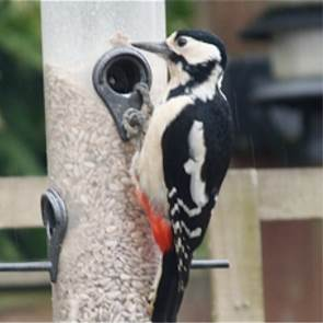 view Great Spotted Woodpecker products