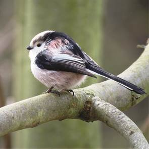 view Long Tailed Tit products